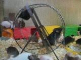 мышиные  бега